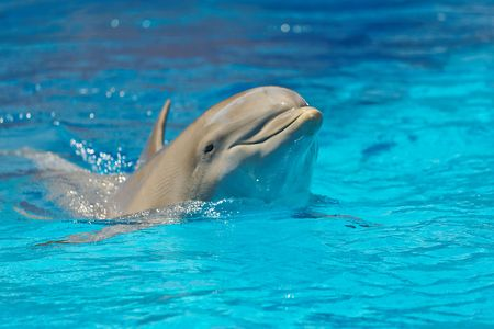 dolphin looking out of the water, focus on the foreheadnose Stock Photo