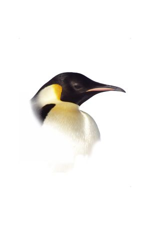Isolated Penguin Face