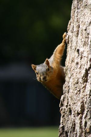 Squirrel on a tree Stock Photo
