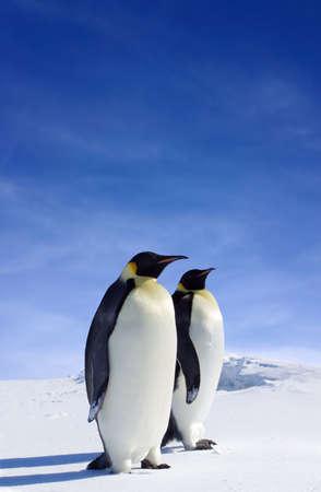 pinguins: Deux pingouins dans l'Antarctique