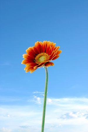 Gerber flower against a blue sky
