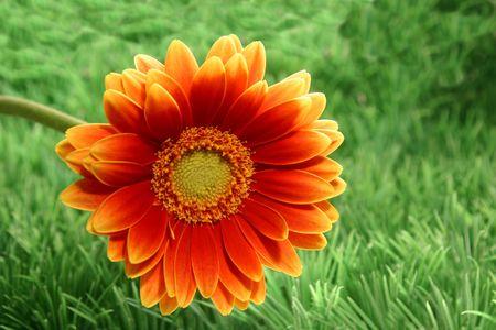 Gerber flower against grass background Stock Photo