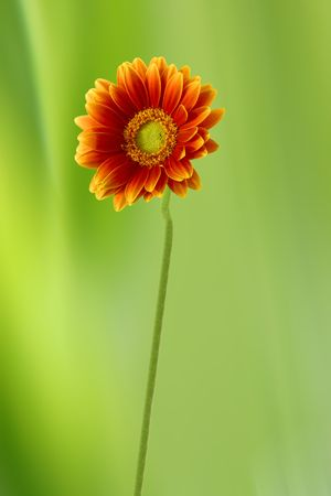 Gerbera Daisy against green background