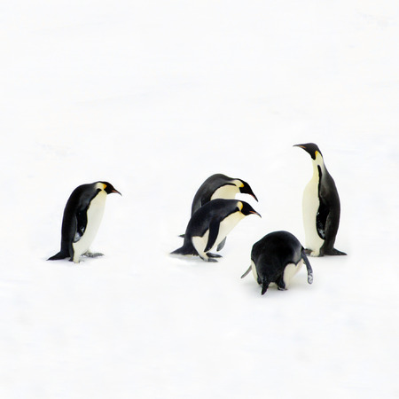 Penguins bowing down before their emperor, to pay him honor