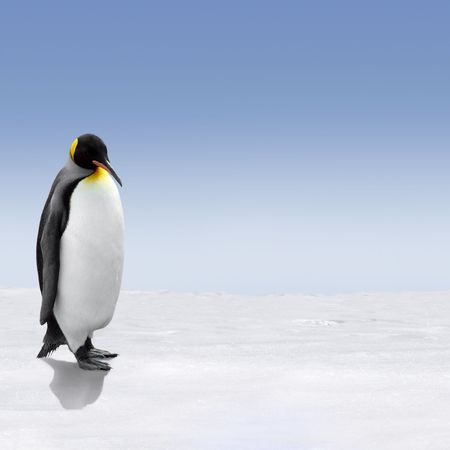 A king penguin in Antarctica