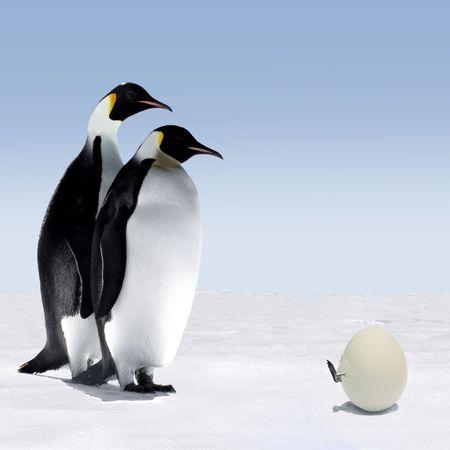 pinguins: Penguin M�re et le P�re sont un Watching Penguin Sortir de ses oeufs