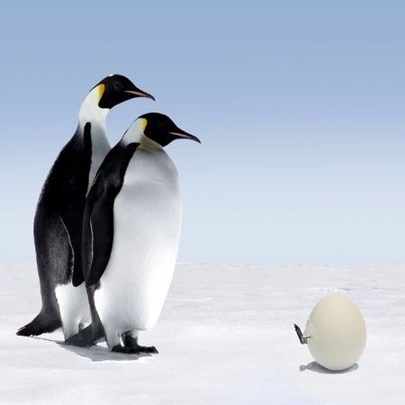 Penguin Mother and Father are Watching a Penguin  Getting out of its Egg
