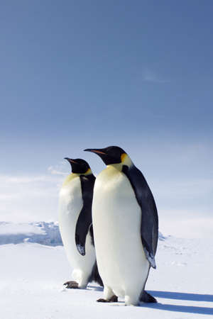Two emperor penguins in Antarctica