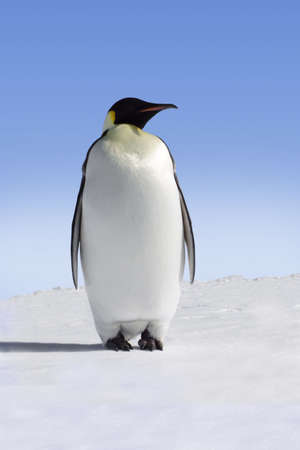 Single emperor penguin in Antarctica