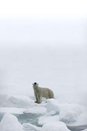 Polar bear in the Arctic Stock Photo