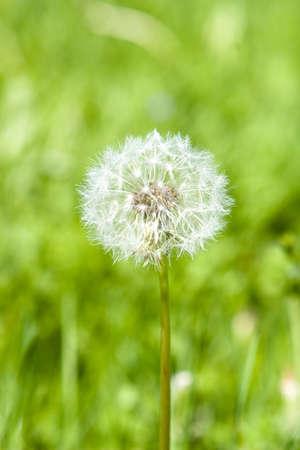 blowball: Blowball on an meadow