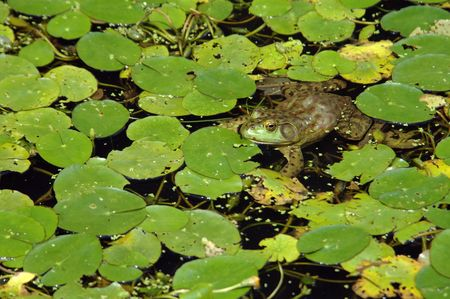 Big frog in the pond photo