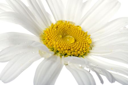object on white - flowers camomile close up photo