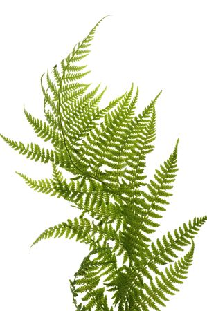 object on white - decorative fern close up
