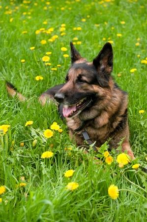 German Shepherd on the meadow with dandelions Stock Photo - 9564975