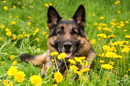 German Shepherd on the meadow with dandelions Stock Photo - 9564967
