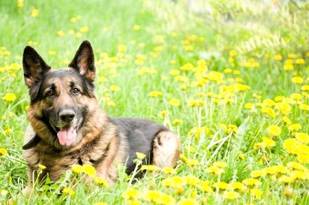 German Shepherd on the meadow with dandelions photo
