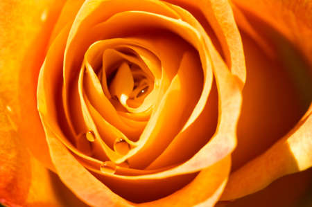 object on white - orange rose close up