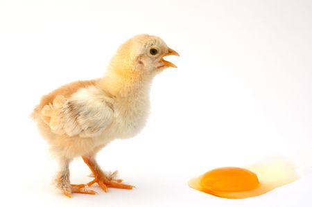 reproduction animal: an egg is a chick putting