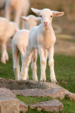 ewe: ewe