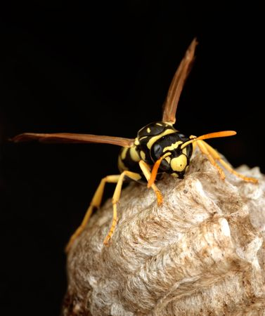 a wasp in its nest photo