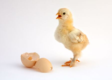 chicken that finishes being born Stock Photo - 458302