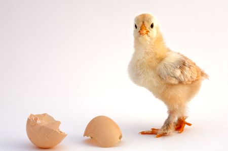 litle: chicken that finishes being born
