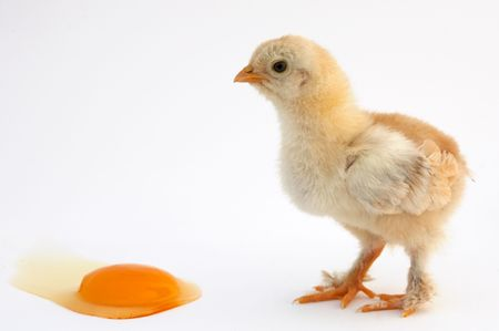 chicken that finishes being born Stock Photo - 462535