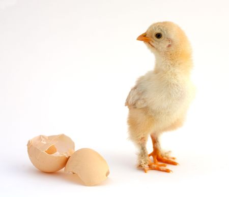 chicken that finishes being born Stock Photo - 503888