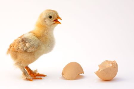 chicken that finishes being born Stock Photo - 503862