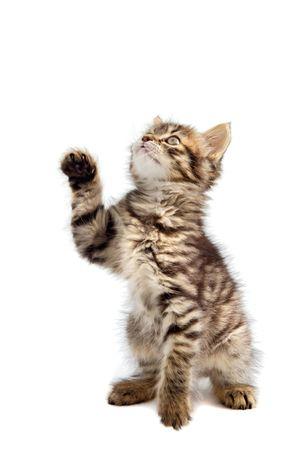 small cat of angora on white bottom photo