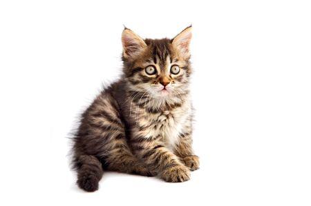 brown hair blue eyes: small cat of angora on white bottom
