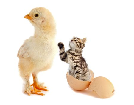 unexpected: chicken just had an unexpected animal born from his egg over white