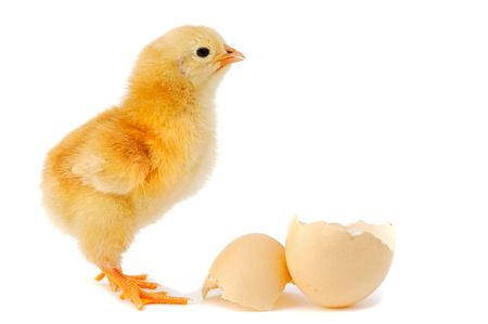 A  chick over a white background Stock Photo