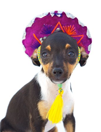 small dog with cap of Mexican over white background Stock Photo