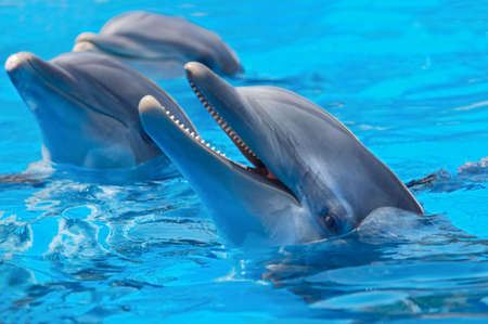 dolphin fish: happy dolphins in the blue water of the swimming pool Stock Photo