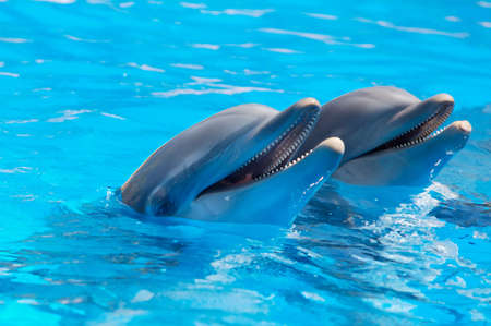 porpoise: Happy dolphins in the blue water of the swimming pool