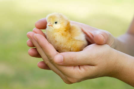 a photo of an adorable chick protected by hands Stock Photo