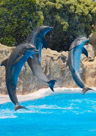 Photo of dolphins doing a show in the swimming pool Stock Photo