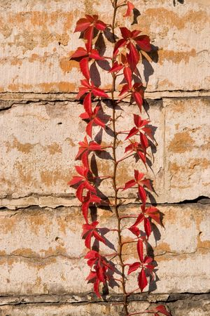 Virginia creeper on limestone wall photo