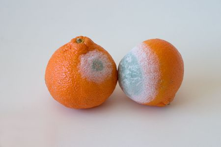 Fungi on the orange Ortaniques Stock Photo