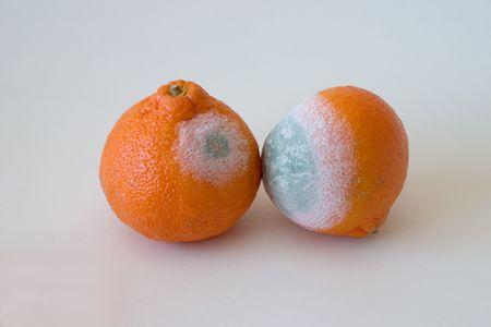 esporas: Hongos de la naranja Ortaniques  Foto de archivo