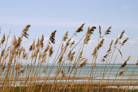 Reed stand at the sea shore