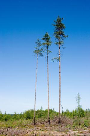 Three pines on a felled area