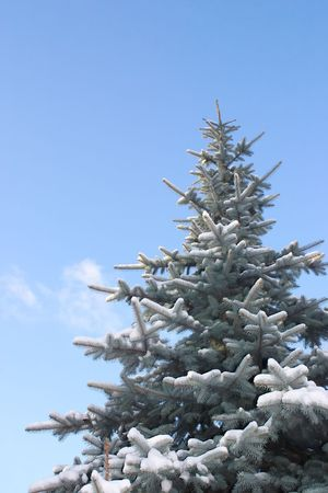 Spruce tree covered with snow, against blue sky Stock Photo - 608624
