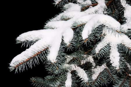 Branch of spruce tree covered with snow photo
