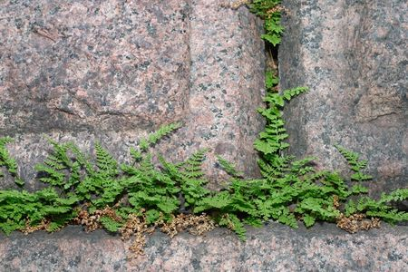 slits: Young ferns in slits of old granite wall Stock Photo