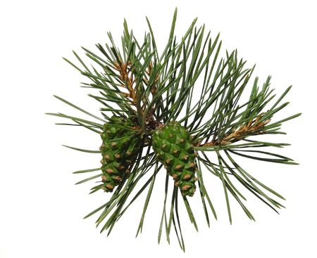Pine shoot with two cones on white background, isolated photo