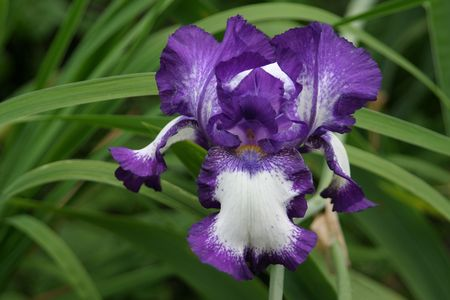 Blue and white iris flower against green grass photo