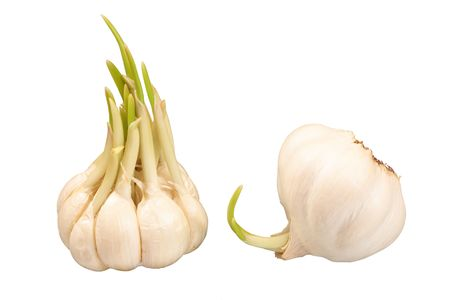 Two bulbs of sprouting garlic, isolated on white background